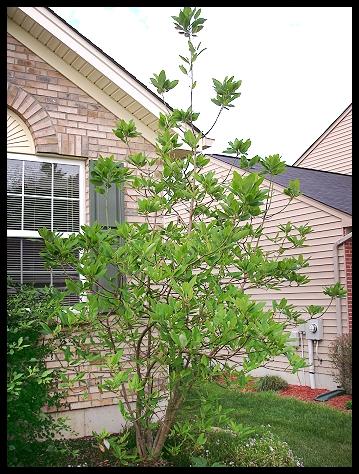 magnolia-tree.jpg